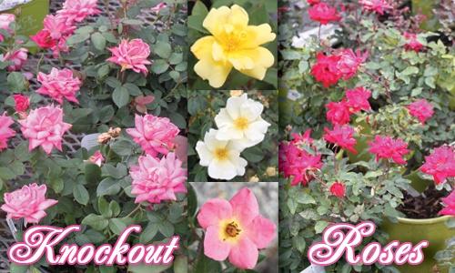 knockout roses summer color pinterest