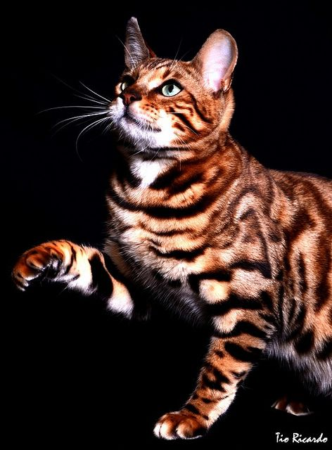 bengal cats - I love them