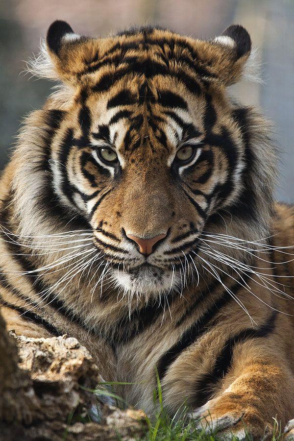 ☀4427 - Sumatran Tiger by Jay-Co.deviantart.