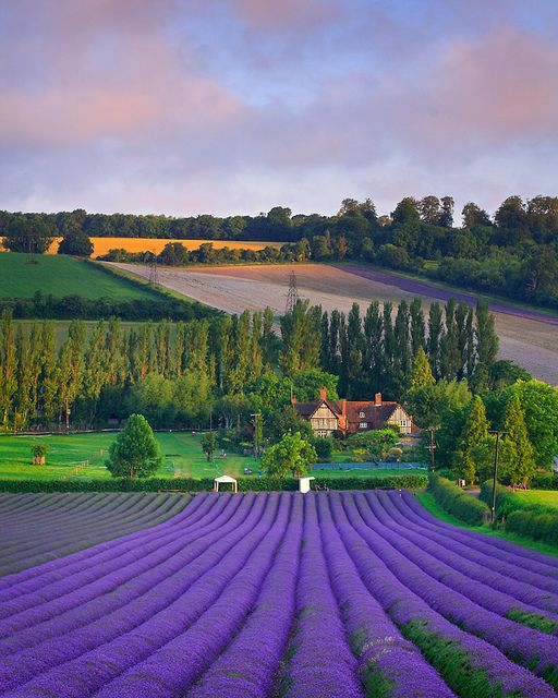beautiful lavender fields