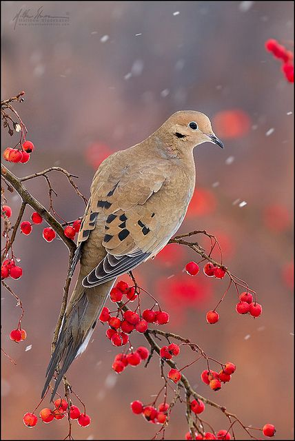 mourning #dove