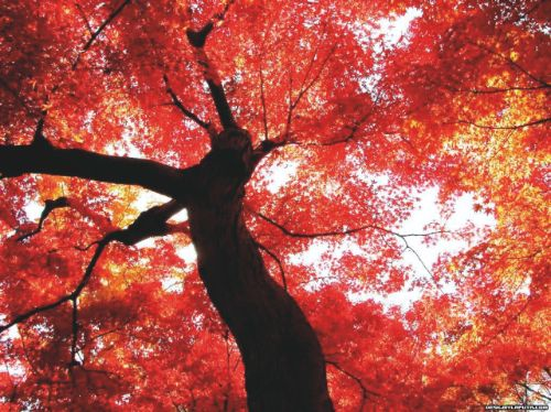 Early autumn leaves turn from orange to red, providing the inspiration for Zao Wou-Ki's Debut d'Octobre