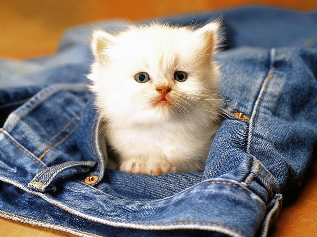 cute birman kitty