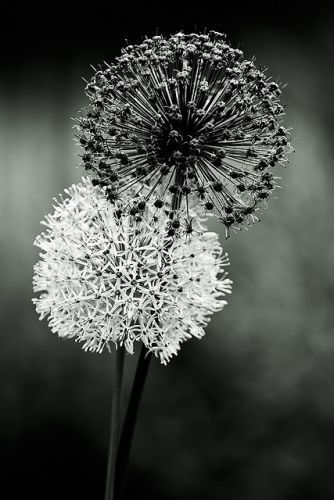 #fotografia #blancoynegro #black and white dandelions