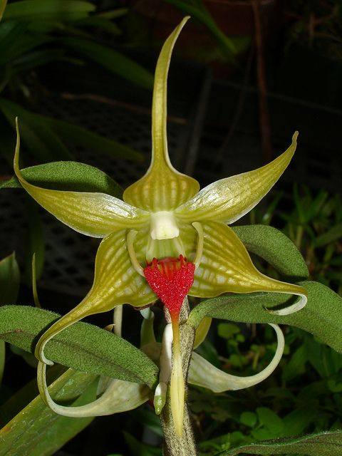 Dendrobium tobaense from Sumatra, Indonesia