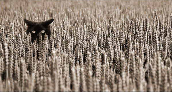 black kitty in a wheat field