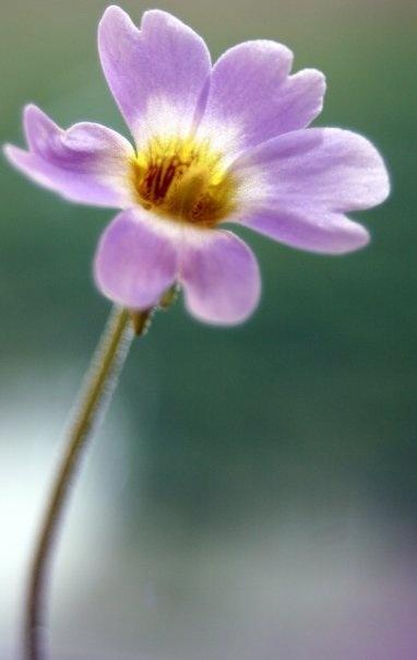 Butterwort - carnivorous plant