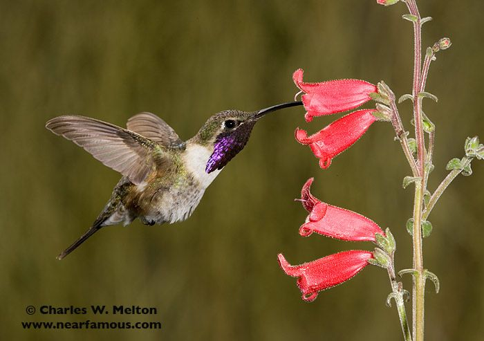 Another Look at the Lucifer Hummingbird | Larry Ditto Nature ...