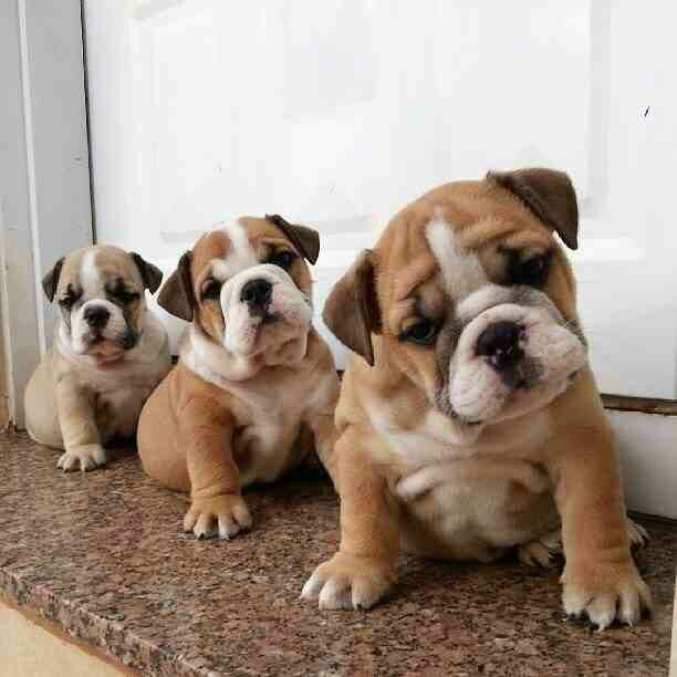 Trio of bulldogs