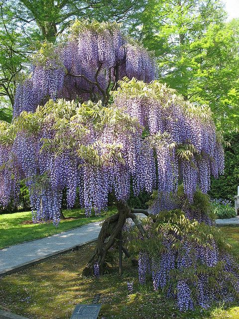 Wisteria...love the look ..hate the plant!  It is invasive..seriously invasive & can grow up the porch & into the attic...guess how I found that out...sigh...