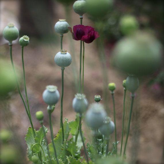 10 Small Poppy Pods Breadseed Poppy Papaver Somniferum