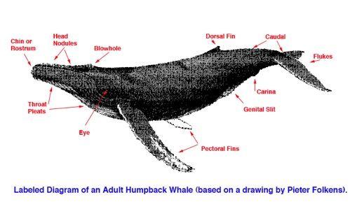 adult humpback whale anatomy diagram creative inspiration pintere