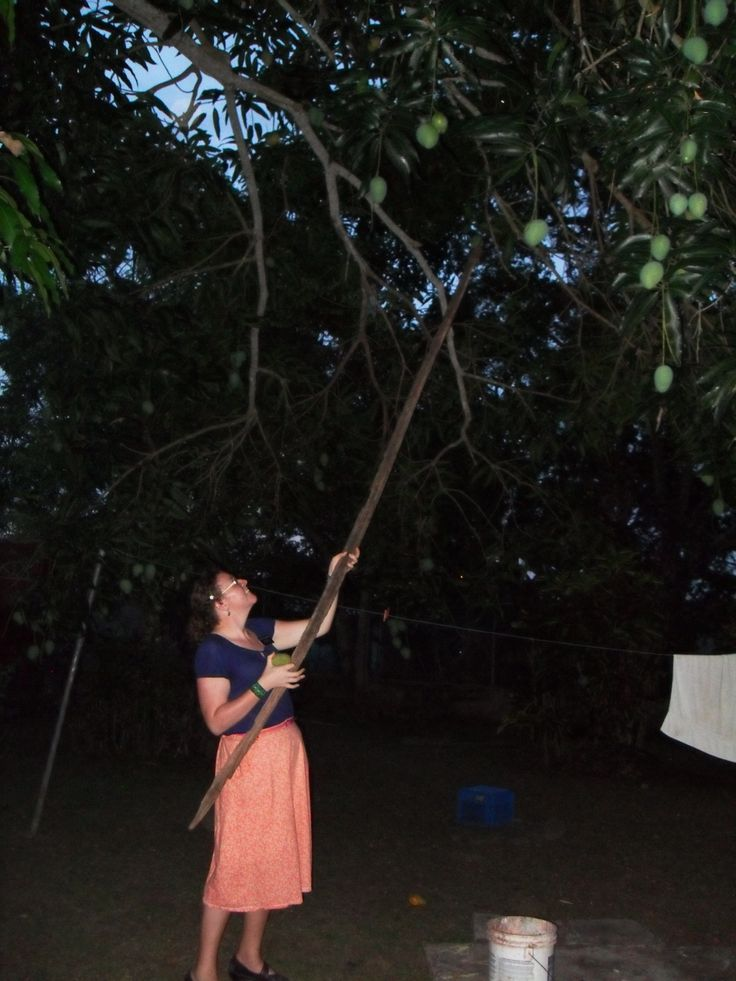 Getting mangos down from a members tree.