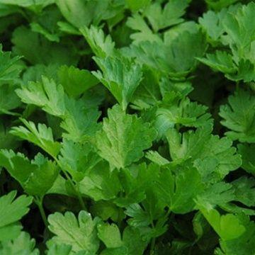 Parsley - Italian Flat Leaf'   Buy Italian Flat Leaf Parsley Plants   The Growers Exchange