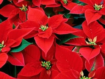 poinsettia ... may all of you and your family be blessed in this brief  season dedicated to JOY and PEACE ON EARTH.... good tidings to all... <3