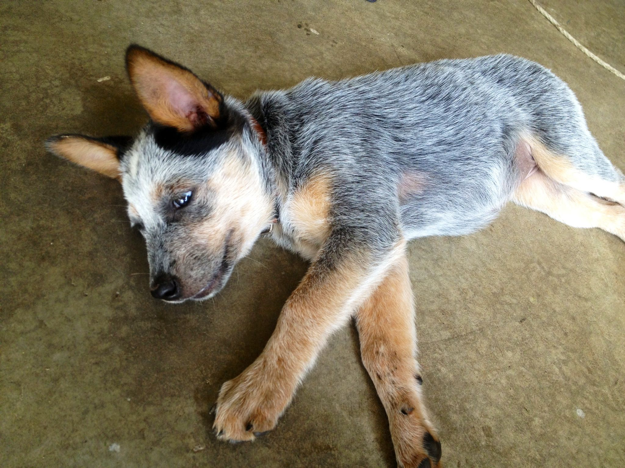 blue heeler rottweiler mix for pinterest rottweiler australian