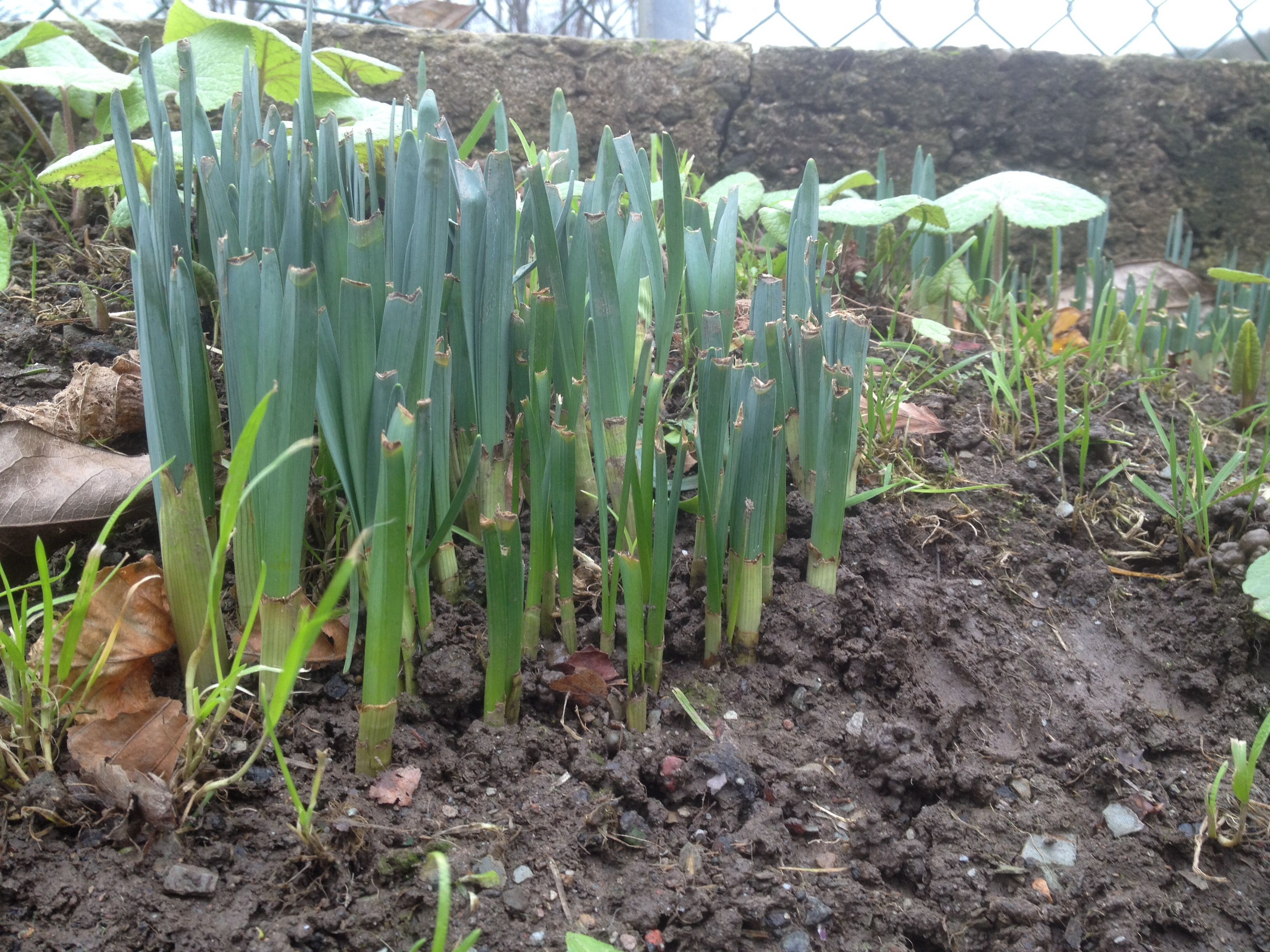 Daffodils in January 2015