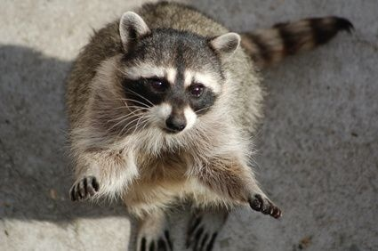 Raccoons and Herpes