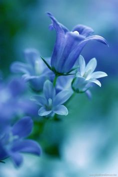 Light-blue-Flowers