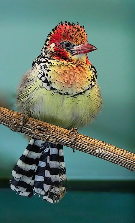 Red and Yellow Barbet - Pinterest via Lara Probert