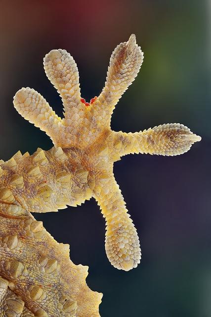 Moorish gecko (Tarentola mauritánica)
