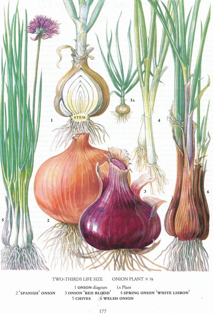 Botanical Onions (c) Pinterest