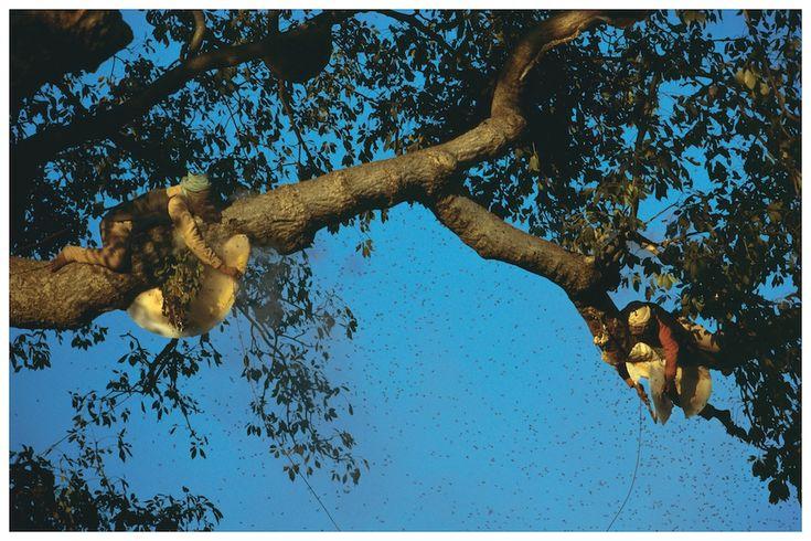 Jungle Nomadi: Eric Valli Ai piedi del Himalaya, lungo il confine che separa India e Nepal, Raji Nomadi caccia di Wild Honey