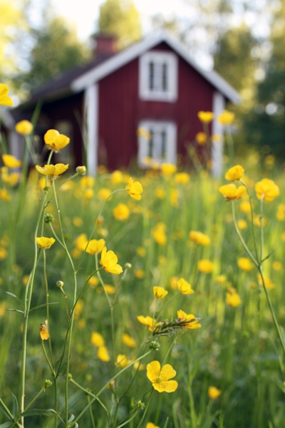 Smörblommor var mina favoritblommor när jag var liten! Mycket mer svensk sommar blir det inte!