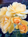 Your favorite things! | Yellow Roses