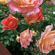 Proven Winners Oso Easy® Roses | Oso Easy® Hone Bun
