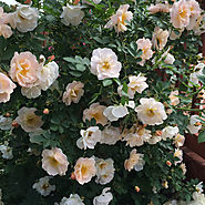 Proven Winners Oso Easy® Roses | Above and Beyond