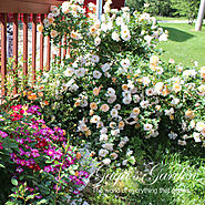 'Oso Easy' Series of Shrub Roses by Proven Winners