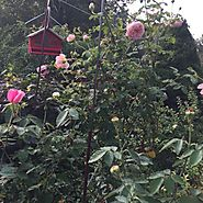 1. Dead-head your roses for the last time this growing season. Allow rose hips* to form signaling its time for the pl...