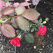 Roses Fall Into Winter | Apply a layer of Canadian Sphagnum Peat Moss.