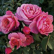 Spice It Up™ Floribunda Rose