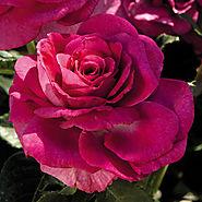 Sweet Intoxication Floribunda Rose