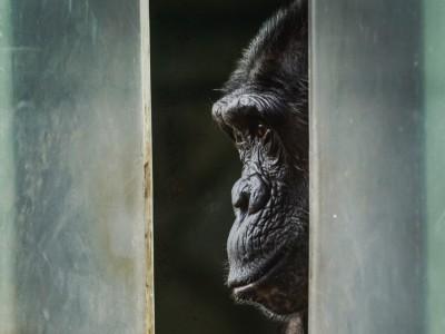 """T. C. Boyles Roman """"Sprich mit mir"""": Schimpanse, geliebter Bruder"""