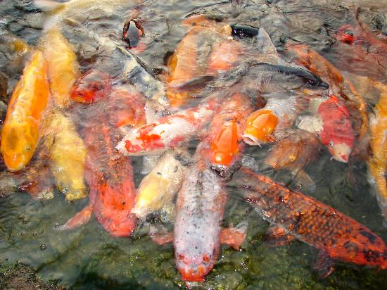 Earl Burns Miller Japanese Garden: Koi fish during feeding