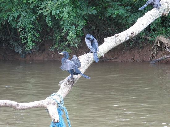 Costa Rica: Cormorants
