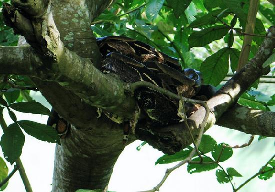 Boa constrictor sleeping off lunch in Manaus, Brazil