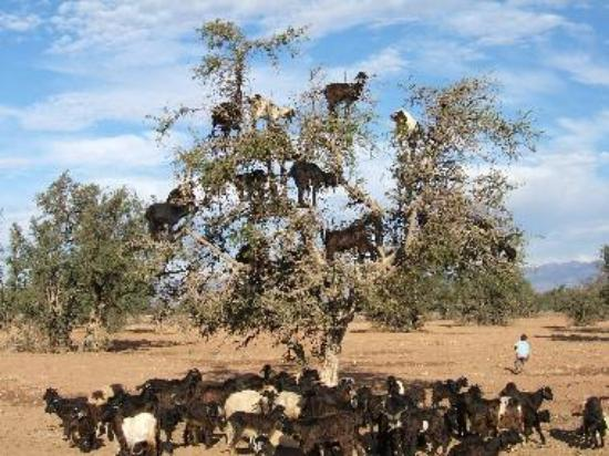 """The famous Argan """"Flying"""" goats capable of climbing trees"""