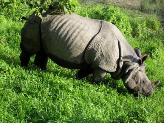 Royal Chitwan National Park, Nepal: Grazing Rhino