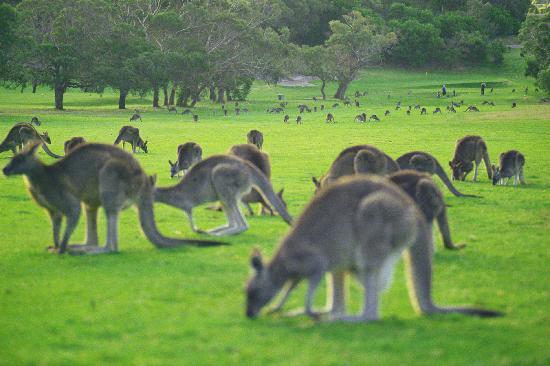 Kangaroos on Angelsea Golf Course. Take the tour! This photo of Melbourne is courtesy of Tripadvisor