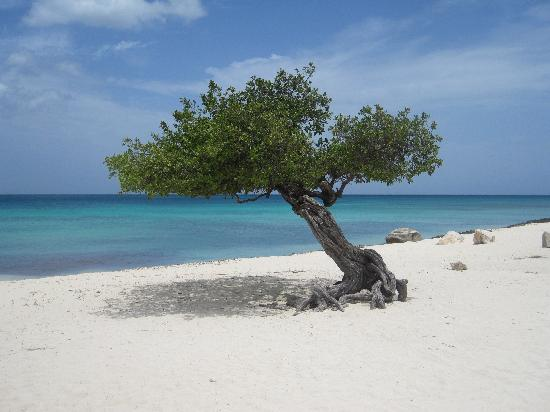 One of a Pair of Divi Trees on Eagle Beach (35884540)