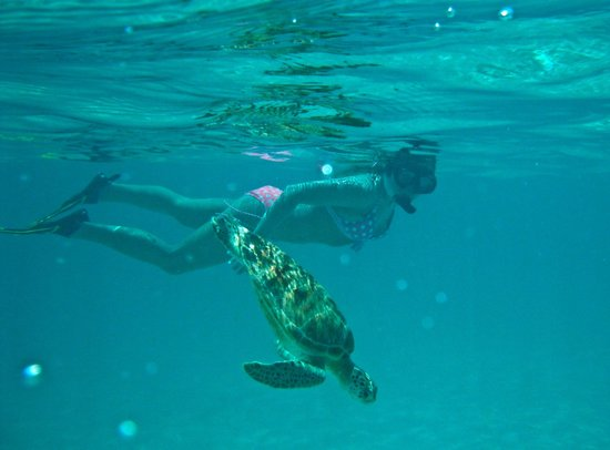 Snorkeling With Turtle Picture Of Barcelo Maya Palace
