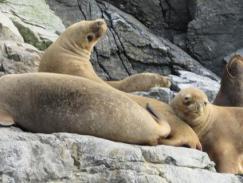 Resultado de imagen para lobos marinos en Reserva nacional Pingüino de Humboldt