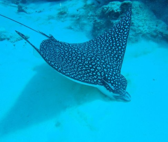 Dive With Julio Giant Spotted Eagle Ray