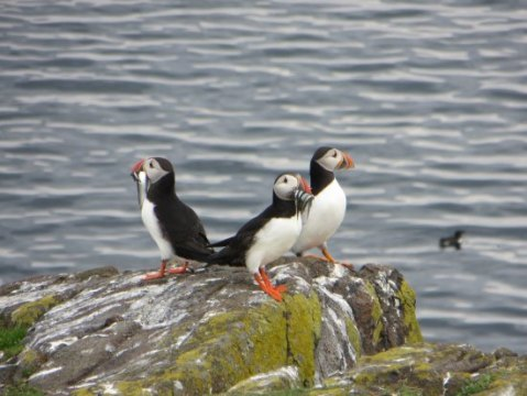 Some of the bird cliffs on the Isle of May    Picture of Anstruther     Anstruther Pleasure Cruises Boat Day Tours  Puffins are one of the biggest  attractions of