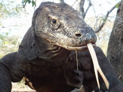 boat tour guide & dragon - Picture of Komodo Island ...