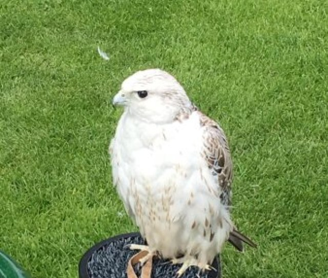 Chester Cathedral Falconry And Nature Gardens Peregrine Falcon Fastest Animal On The Planet